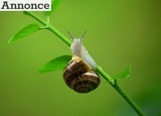 Beskyt dine blomster og køkkenhave mod snegle